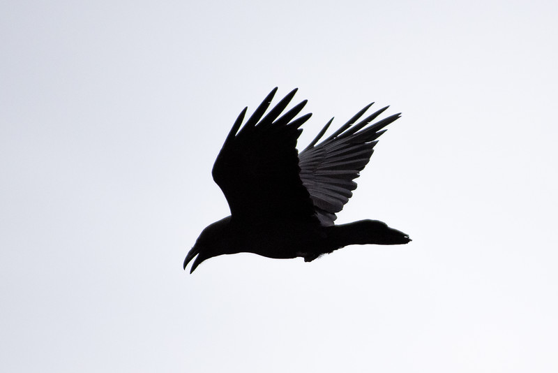 Hrafn (Corvus corax)