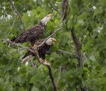 Bald Eagle Pair M.K. & K.Z.