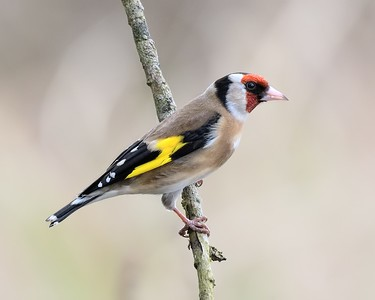 Goldfinch at Pinkhill Reserve 30-03-2017