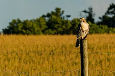 Redtailed Hawk, Buteo jamaicensis
