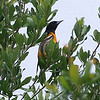 Finally Spotted A Baltimore Oriole