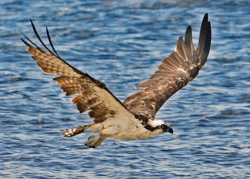 Osprey flies along a Fort Myers Beach.