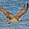 Osprey flies along a Fort Myers Beach.