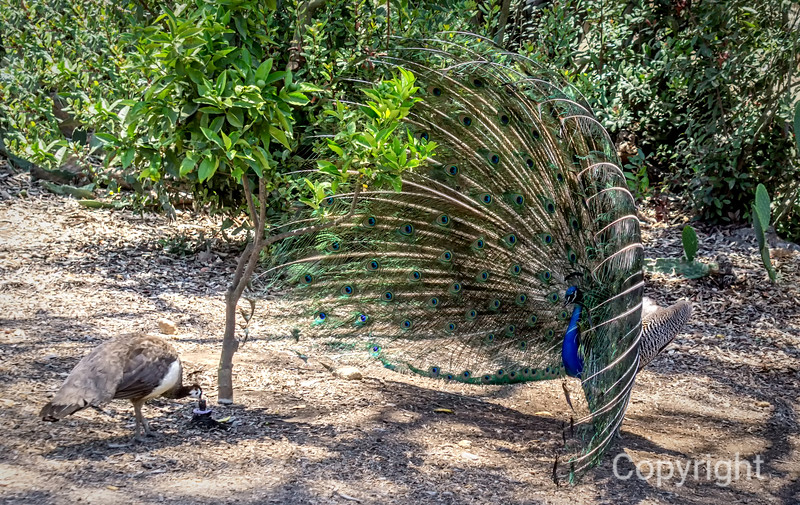 Male Peacock's Display Ignoredby Peahen drinking Water