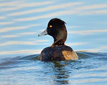 Tufted Ducky
