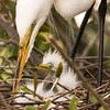 Momma and Baby Egret