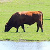 Two Meadowlarks And A Bull