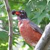 Turdus migratorius – American robin 3