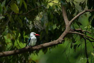 Woodland Kingfisher, Masai Mara