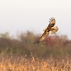Marsh Harrier over Otmoor 29th November 2016 2