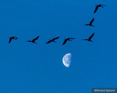 Sandhill Cranes over the Moon  in  Nebraska