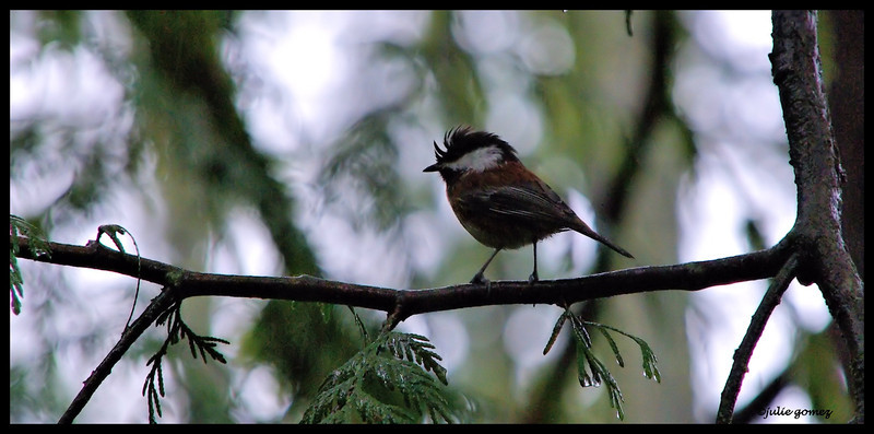 Chestnut-backed Chickadee ~ Parus rufescens