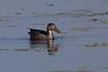 Adult female Northern Shoveler (Anas clypeata).  A dabbler duck.  Near Shoveler Pond. Anahuac National Wildlife Refuge, Texas.