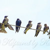 Wire Full Of Purple Martins