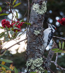 Pileated Woodpecker at Acadia