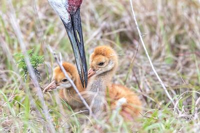 Sandhill crane colt feeding time