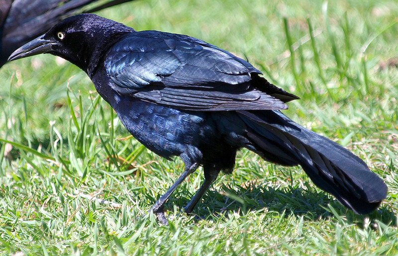 Male  Great-tailed Grackle From a Different Perspective