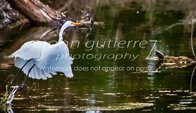Egret at Lost Creek-3