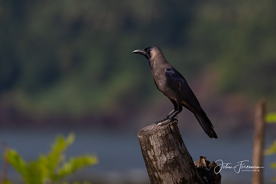 House Crow, Goa