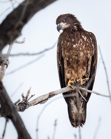 Juvenile Bald Eagle - Barr Lake CO