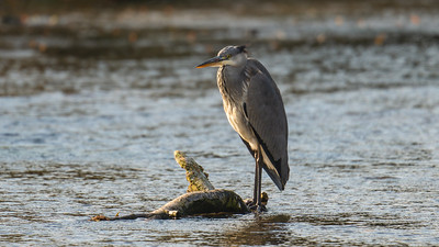 Grey Heron - River Dunn Hungerford 19th October 2020