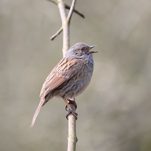 A Singing Dunnock at Shaw Newbury