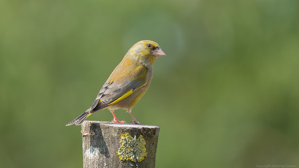 Greenfinch Portrait - taken from bedroom window during lockdown 2020