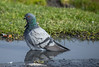 Rock Pigeon also known as Pest sometimes.