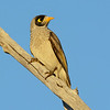 Noisy Miner, Federation Walk Coastal Reserve, Gold Coast, Queensland.