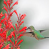 Archilochus colubris – Ruby throated hummingbird on red Agastache 3