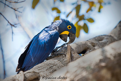 Hyacinth Macaw in the wild