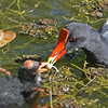Older Common Moorhen feeding a younger Common Moorhen.