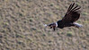 Andean Condor #1