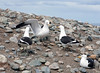 Dominican Gulls (Larus dominicanus).  Also known as Kelp Gulls. Los Pingüinos Natural Monument.   Isla Magdalena.  Strait of Magellan.  North of Punta Arenas, Southern Patagonia, Chile