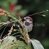 Passer domesticus – House sparrow 7