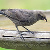 Baby Cowbird With Cracked Corn