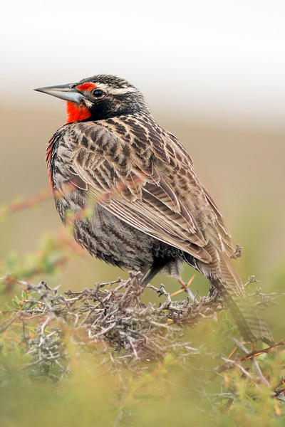 Long-tailed Meadowlark #1