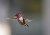 Anna's Male Hummingbird.