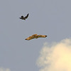 2 A Red-tailed Hawk Appears