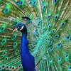Peacock Bird Picture