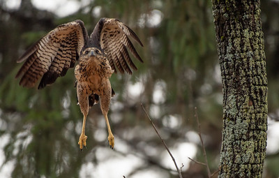 Great Black Hawk mid-high wings take off