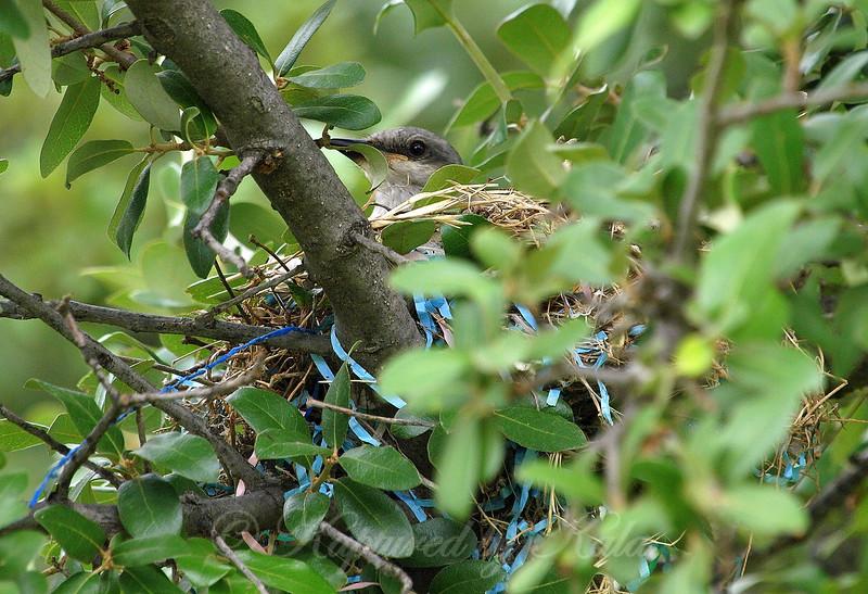 Mama Kingbird Sitting on Babies