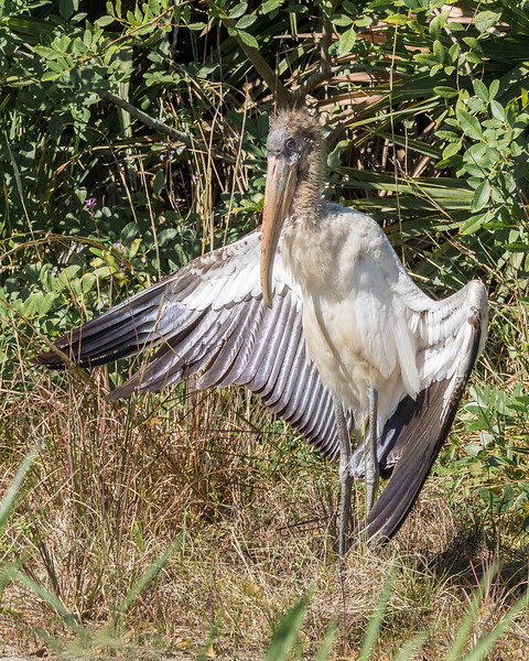 The Flashing Woodstork