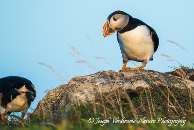 PUffin checking out neighbour
