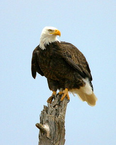 Bald Eagle on Alert