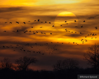 Sandhill Cranes at Sunset in Nebraska