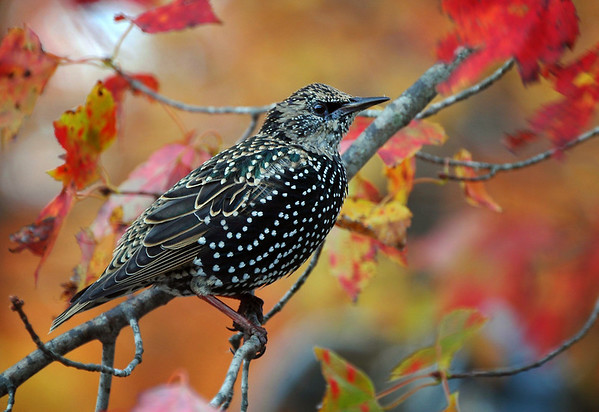 European Starling in Autumn