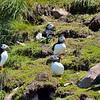 Atlantic Puffins