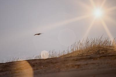 Hrafn / Common raven / Corvus corax