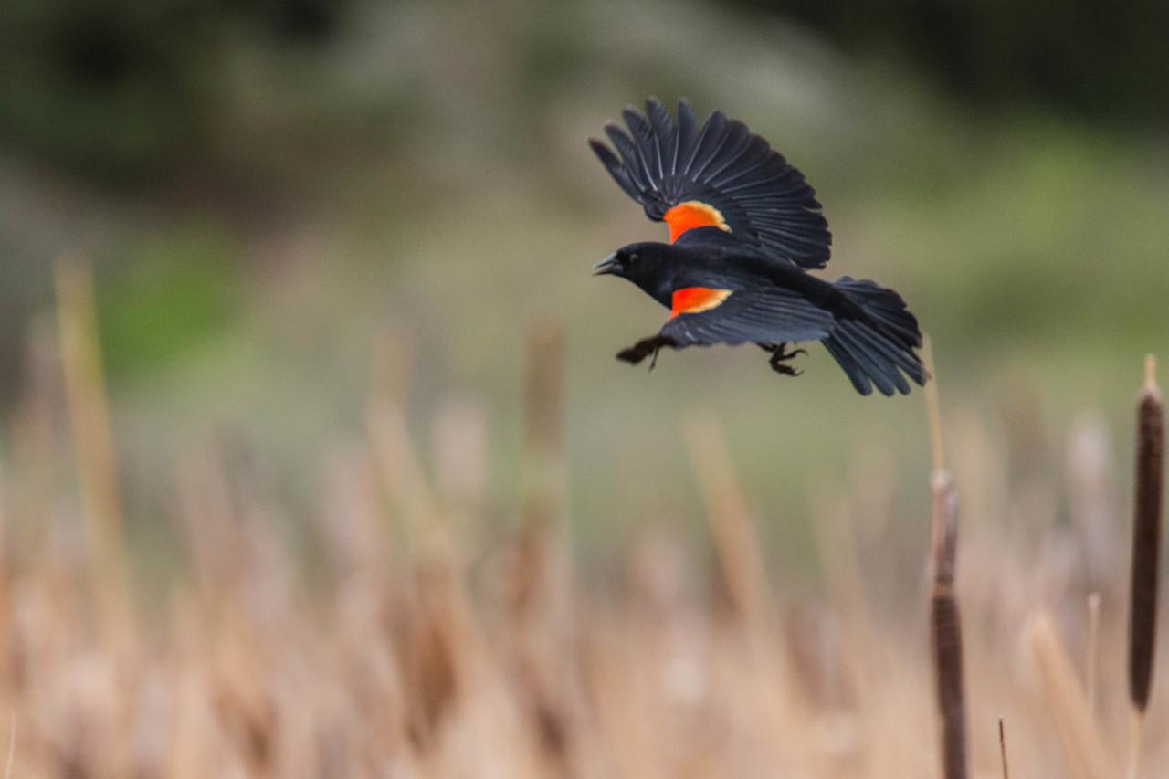 IMAGE: https://photos.smugmug.com/Birds/i-Z5mR5MR/0/73421de8/X2/AO0O5828-X2.jpg